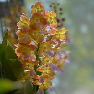 Rhynchorides orchid blooming orchid seedlings orchid flask orchid flowering orchid dendrobium thai orchid orchid care buy orchid plant indoor ขายกล้วยไม้ สวนกล้วยไม้ กล้วยไม้สกุล การขยายพันธุ์กล้วยไม้