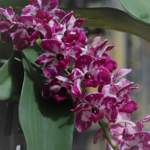 Rhy.gigantea orchid blooming orchid seedlings orchid flask orchid flowering orchid dendrobium thai orchid orchid care buy orchid plant indoor ขายกล้วยไม้ สวนกล้วยไม้ กล้วยไม้สกุลช้าง การขยายพันธุ์กล้วยไม้