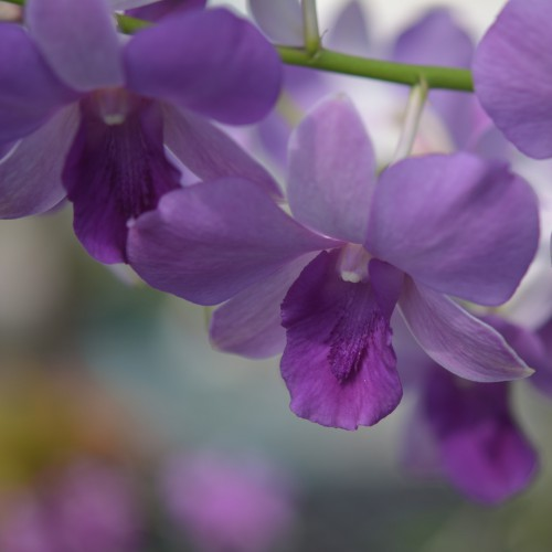 blue orchid blooming orchid seedlings orchid flask orchid flowering orchid dendrobium thai orchid orchid care buy orchid plant indoor ขายกล้วยไม้ สวนกล้วยไม้ กล้วยไม้สกุลหวาย การขยายพันธุ์กล้วยไม้