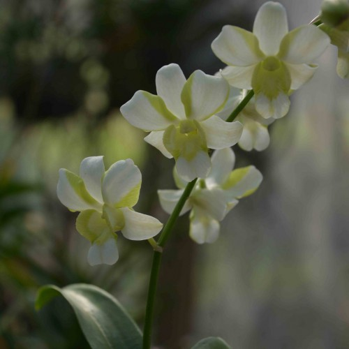 white orchid blooming orchid seedlings orchid flask orchid flowering orchid dendrobium thai orchid orchid care buy orchid plant indoor ขายกล้วยไม้ สวนกล้วยไม้ กล้วยไม้สกุลหวาย การขยายพันธุ์กล้วยไม้
