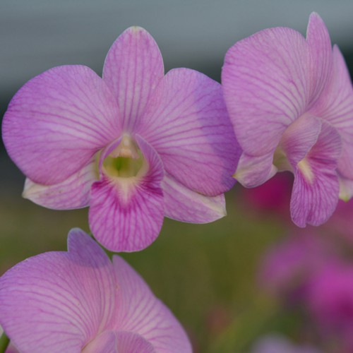 pink orchid blooming orchid seedlings orchid flask orchid flowering orchid dendrobium thai orchid orchid care buy orchid plant indoor ขายกล้วยไม้ สวนกล้วยไม้ กล้วยไม้สกุลหวาย การขยายพันธุ์กล้วยไม้