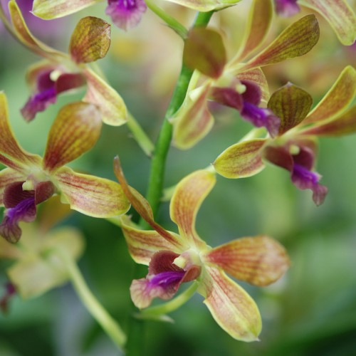 brown orchid blooming orchid seedlings orchid flask orchid flowering orchid dendrobium thai orchid orchid care buy orchid plant indoor ขายกล้วยไม้ สวนกล้วยไม้ กล้วยไม้สกุลหวาย การขยายพันธุ์กล้วยไม้