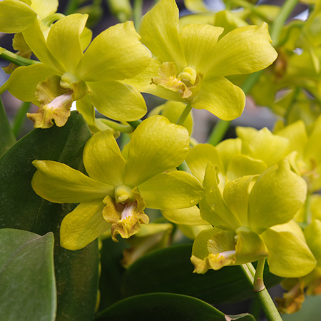 yellow and brown lips orchid blooming orchid seedlings orchid flask orchid flowering orchid dendrobium thai orchid orchid care buy orchid plant indoor ขายกล้วยไม้ สวนกล้วยไม้ กล้วยไม้สกุลหวาย การขยายพันธุ์กล้วยไม้