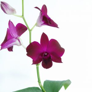 red orchid blooming orchid seedlings orchid flask orchid flowering orchid dendrobium thai orchid orchid care buy orchid plant indoor ขายกล้วยไม้ สวนกล้วยไม้ กล้วยไม้สกุลหวาย การขยายพันธุ์กล้วยไม้