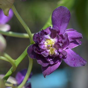 purple orchid blooming orchid seedlings orchid flask orchid flowering orchid dendrobium thai orchid orchid care buy orchid plant indoor ขายกล้วยไม้ สวนกล้วยไม้ กล้วยไม้สกุลหวาย การขยายพันธุ์กล้วยไม้