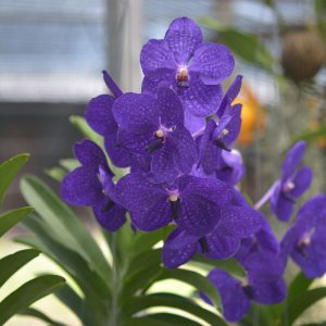 vanda orchid blooming orchid seedlings orchid flask orchid flowering orchid dendrobium thai orchid orchid care buy orchid plant indoor ขายกล้วยไม้ สวนกล้วยไม้ กล้วยไม้สกุลแวนด้า การขยายพันธุ์กล้วยไม้