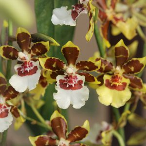 oncidium orchid blooming orchid seedlings orchid flask orchid flowering orchid dendrobium thai orchid orchid care buy orchid plant indoor ขายกล้วยไม้ สวนกล้วยไม้ กล้วยไม้สกุลออนซิเดียม การขยายพันธุ์กล้วยไม้