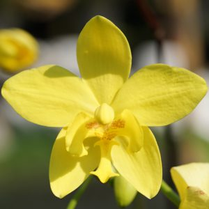 Spathoglottis orchid blooming orchid seedlings orchid flask orchid flowering orchid dendrobium thai orchid orchid care buy orchid plant indoor ขายกล้วยไม้ สวนกล้วยไม้ กล้วยไม้ดิน การขยายพันธุ์กล้วยไม้