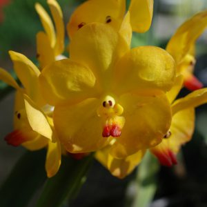 ascocenda yellow orchid blooming orchid seedlings orchid flask orchid flowering orchid dendrobium thai orchid orchid care buy orchid plant indoor ขายกล้วยไม้ สวนกล้วยไม้ กล้วยไม้สกุลหวาย การขยายพันธุ์กล้วยไม้