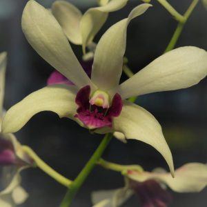 white and red lips orchid blooming orchid seedlings orchid flask orchid flowering orchid dendrobium thai orchid orchid care buy orchid plant indoor ขายกล้วยไม้ สวนกล้วยไม้ กล้วยไม้สกุลหวาย การขยายพันธุ์กล้วยไม้
