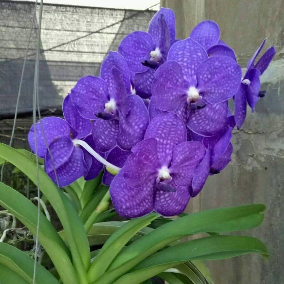 91a58799bd39ce vanda orchid blooming orchid seedlings orchid flask orchid flowering orchid  dendrobium thai orchid orchid care buy