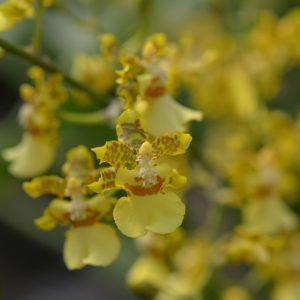 oncidium orchid thai orchid blooming orchid seedlings orchid flask orchid flowering orchid dendrobium thai orchid orchid care buy orchid plant indoor ขายกล้วยไม้ สวนกล้วยไม้ กล้วยไม้สกุลออนซิเดียม การขยายพันธุ์กล้วยไม้