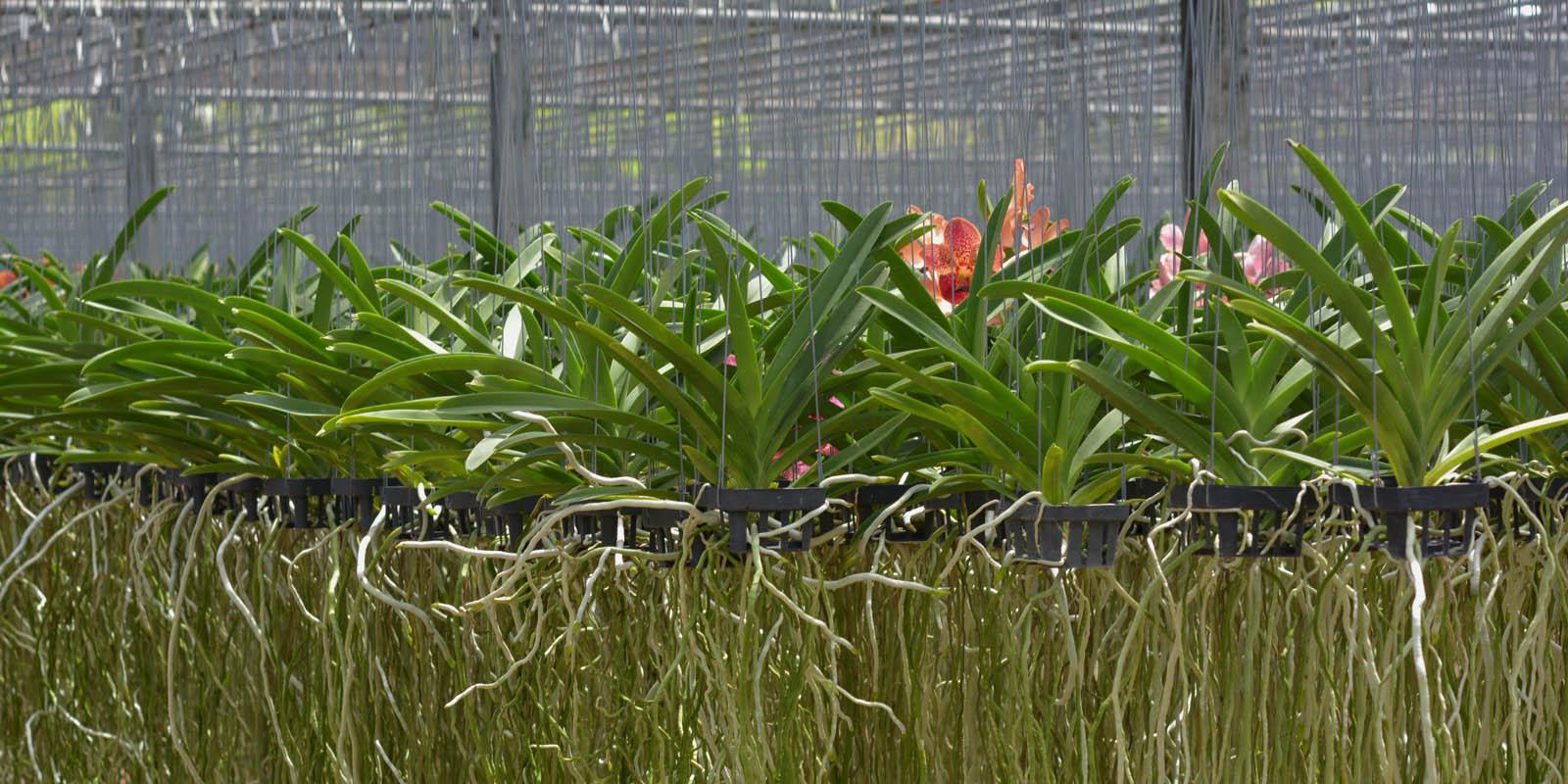 Vanda Blooming Size is on now